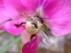 Huawei Ascend P1: Biene (Ausschnitt)