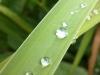 Sony Xperia P: Wassertopfen auf Grashalm