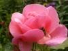 Sony Xperia P: Rose mir Biene