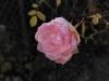 Testbild Honor 6: Rose mit Raureif