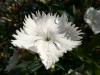 Huawei Ascend P6 - Testbild weiße Blume, normaler Modus