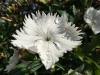 Huawei Ascend P6 - Testbild weiße Blume, HDR Modus