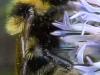 Huawei Ascend P6 - Testbild Hummel - Ausschnitt