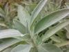 Testbild IceFox X2: Salbeipflanze - eine weitere brauchbare Nahaufnahme
