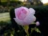 Testbild Mobistel Cynus T8: Vereiste Rose