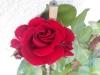Rote Rose (verkleinertes Bild)
