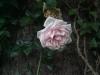 Phicomm i800 - Rose im Schatten