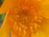 Gelbe Blume,  Ausschnittsvergrößerung - Alcatel One Touch Idol Ultra