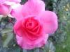 Testbild LG L7 II: Rose