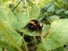 Wiko Getaway Testbild : Makroaufnahme einer Hummel