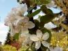Testbild Wiko Raimbow: Apfelblüte